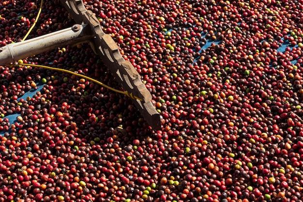 Świeże jagody kawy arabica. organiczna farma kawy