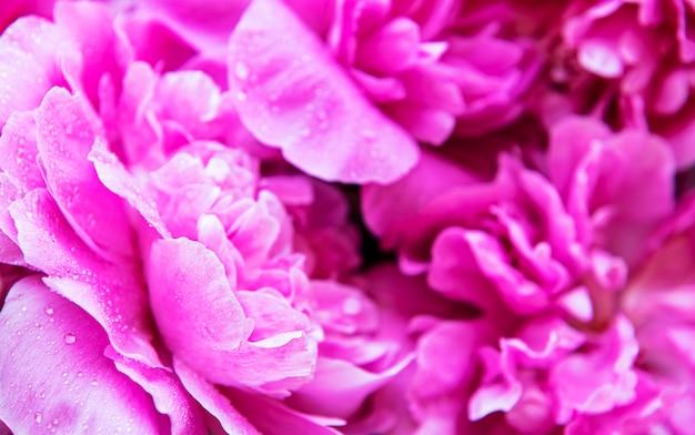 Świeże jasne kwitnące kwiaty piwonii