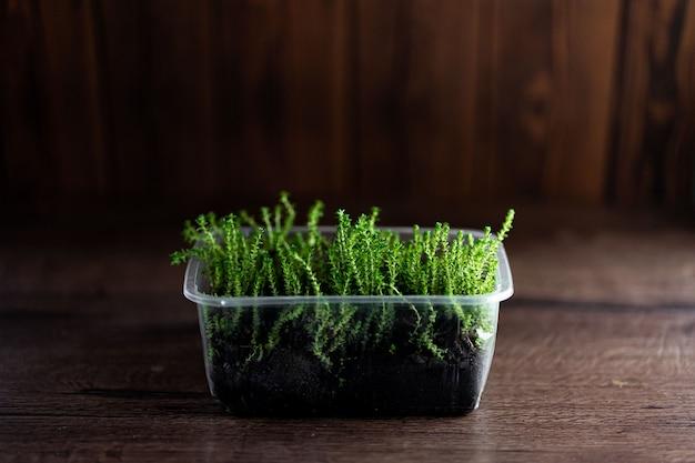 Świeże kiełki trawy rzeżuchy z kropelkami wody w plastikowym pojemniku na drewnianym tle