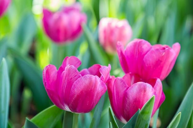Świeże kolorowe kwiaty tulipanów w ogrodzie w dzień wiosny