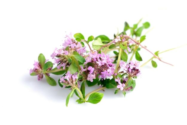 Świeże kwiaty zioła tymianku na białym tle