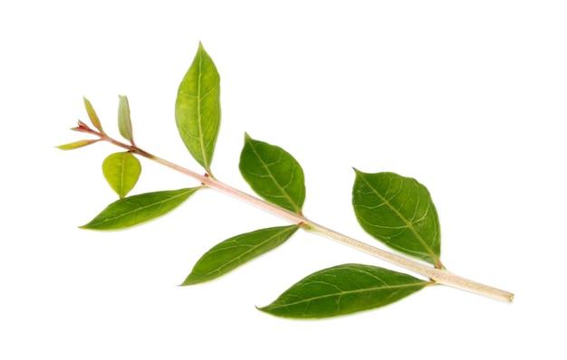 Świeże liście henny na białym tle