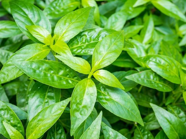 Świeże liście roślin zielnych andrographis paniculata (burm.f.) wall ex nees
