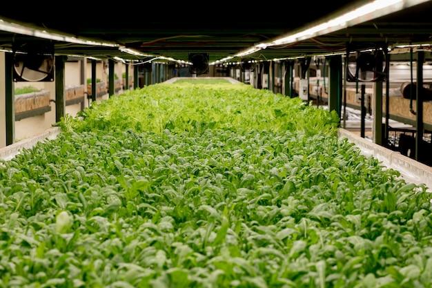 Świeże liście rukoli, z bliska. roślin sałaty, hydroponiczne liście warzyw. koncept żywności ekologicznej, rolnictwa i hydroponiki.