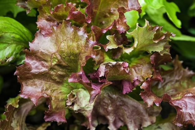 Świeże liście sałaty, z bliska, widok z góry