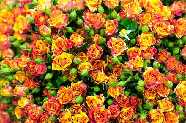 Świeże małe czerwone róże w tle