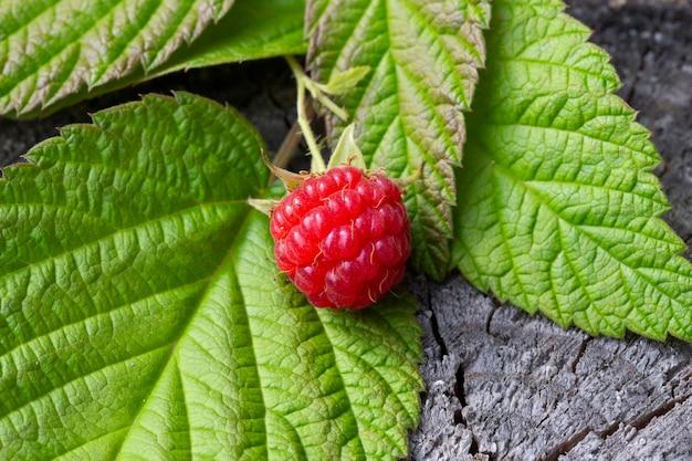 Świeże maliny na leśnym fiszorku. czerwone dojrzałe maliny i zielone liście