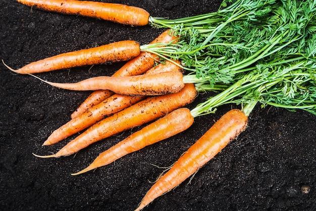 Świeże marchewki w jarzynowym ogródzie lub polu
