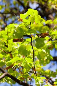 Świeże młode liście lipy i stare suche nasiona zeszłego roku