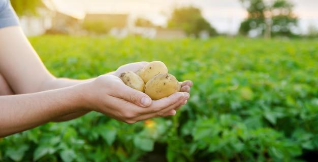 Świeże młode ziemniaki w rękach rolnika