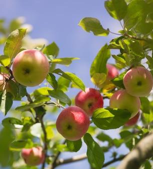 Świeże organiczne czerwone jabłka na gałęzi