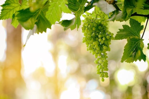 Świeże owoce winogron na światło słoneczne roślin i latem