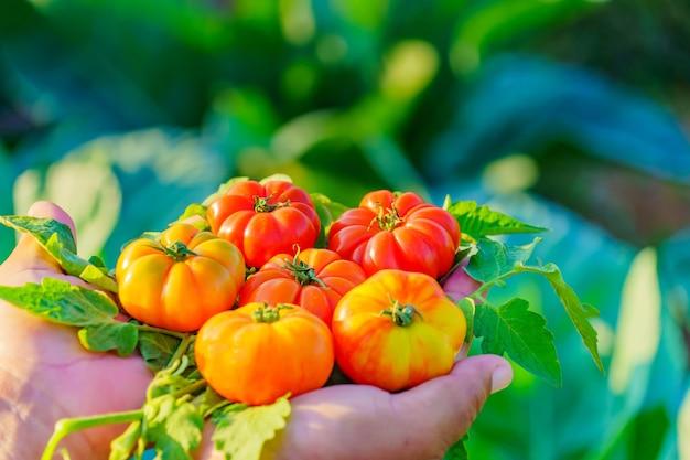 Świeże pomidory w dłoni. ręce trzymając czerwone pomidory.