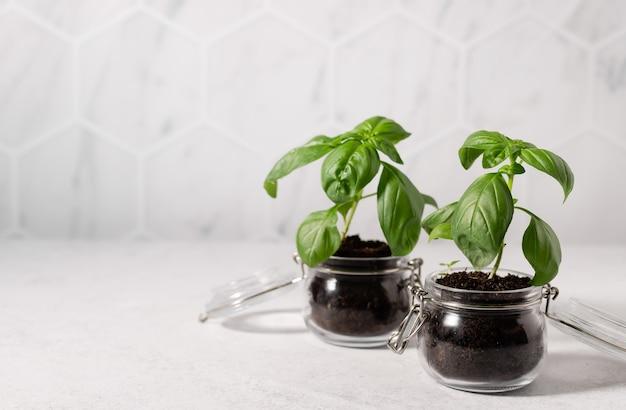 Świeże rośliny bazylii w szklanych słoikach na stole kuchennym z kafelkowym ściennym ogrodem domowym