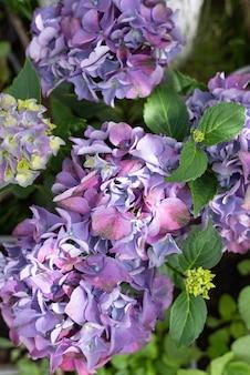 Świeże różowe i fioletowe kwiaty hortensji z zielonymi liśćmi z bliska