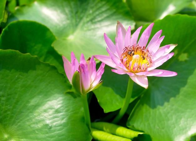 Świeże różowe kwiaty lotosu i pszczoła miodna