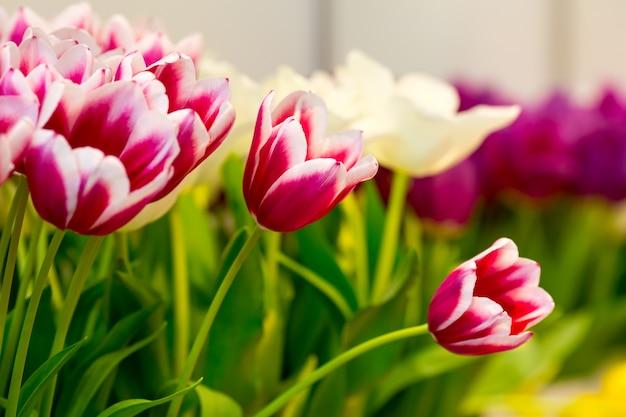Świeże różowe tulipany na polu. widok makro