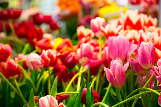 Świeże różowe tulipany na polu z bliska