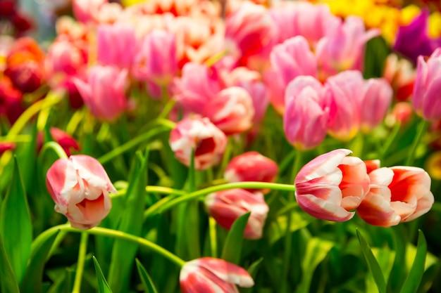 Świeże różowe tulipany na polu