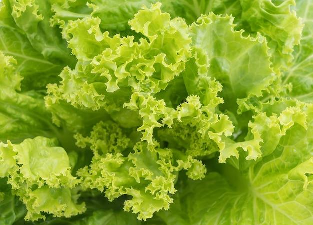 Świeże sałaty