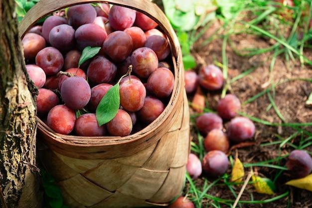 Świeże śliwki właśnie zerwane z drzewa w koszu ze słomy na zewnątrz. zbiór owoców