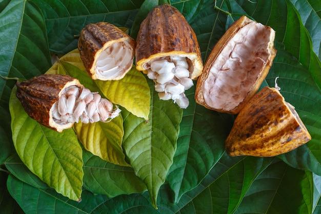Świeże strąki kakao i świeże ziarna kakaowe na tle liści kakao.