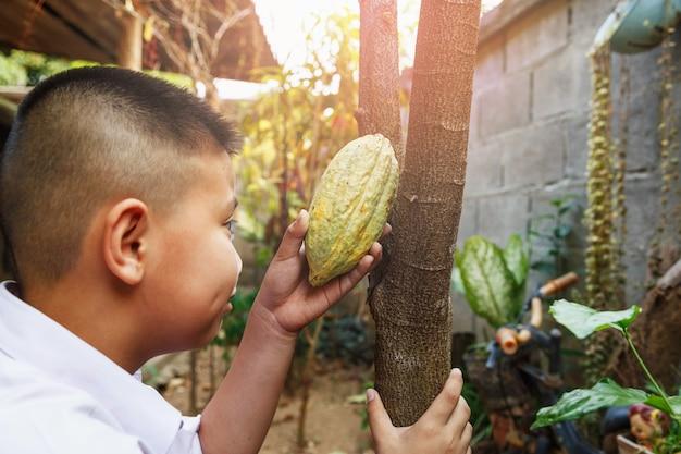 Świeże strąki kakao w dłoni