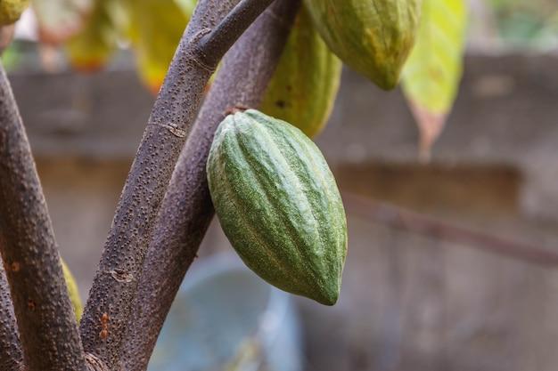 Świeże strąki kakaowca z drzewa kakaowego