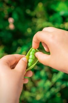 Świeże strąki zielonego groszku w rękach dziecka.