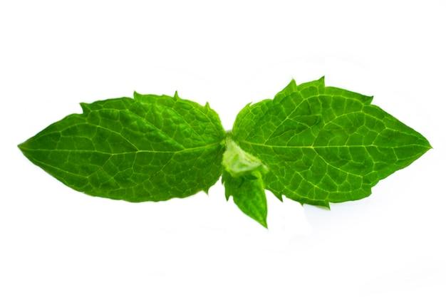 Świeże surowe zielone liście mięty na białym tle