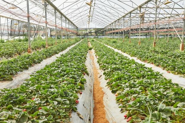 Świeże truskawki na szklarni
