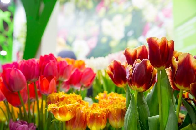 Świeże wielokolorowe tulipany na polu