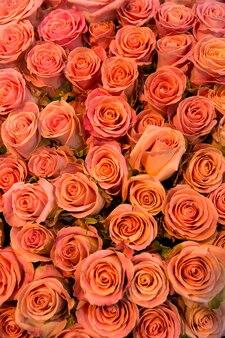 Świeże wiosenne czerwone róże w tle