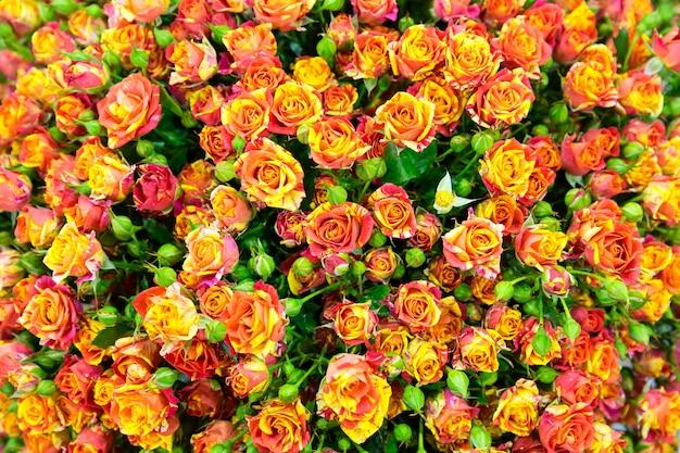 Świeże wiosenne czerwono-żółte róże w tle