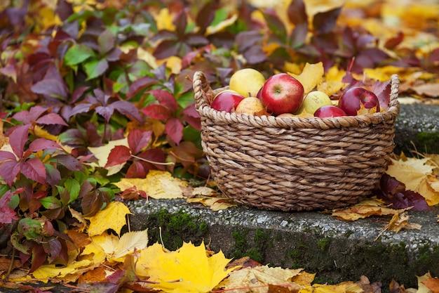 Świeże zbiory jabłek. jesienne ogrodnictwo. organiczne czerwone jabłka w koszu