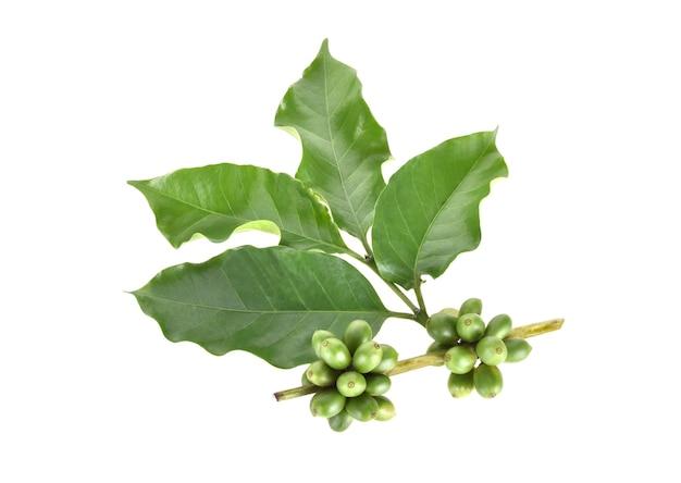 Świeże ziarna kawy na białym tle