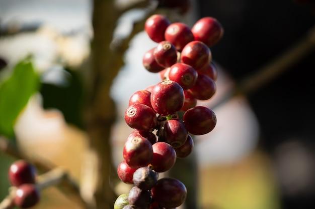 Świeże ziarna kawy na gałęziach drzew