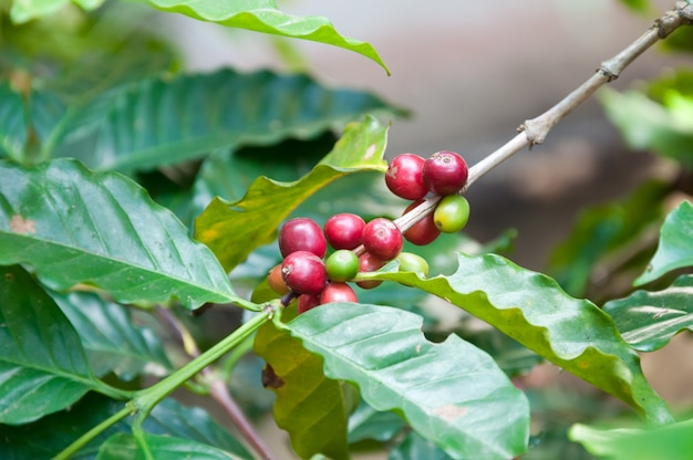 Świeże ziarna kawy w drzewie rośliny, świeże owoce kawy arabica na drzewie