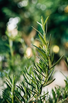 Świeże ziele rozmarynu rośnie na zewnątrz. liście rozmarynu close-up.