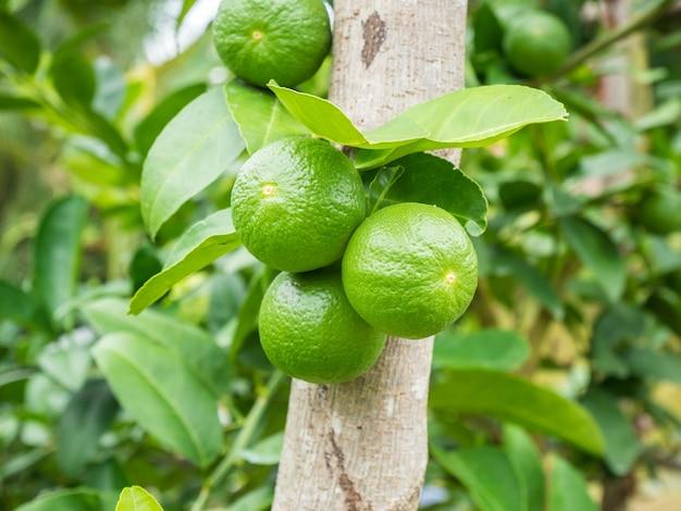 Świeże zielone cytryny limonki na drzewie w organicznym ogrodzie