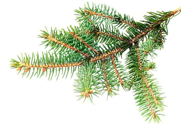 Świeże zielone gałęzie jodły. samodzielnie na białym tle