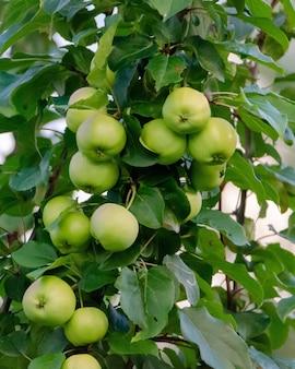 Świeże zielone jabłka na gałęziach drzewa