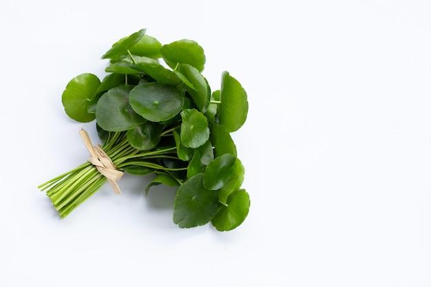 Świeże zielone liście centella asiatica lub roślina pennywort wody na białej powierzchni.