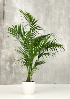 Świeże Zielone Liście Doniczkowej Palmy Kentia Na Grunge Szarej ścianie Premium Zdjęcia