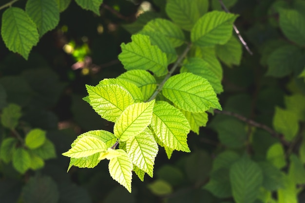 Świeże zielone liście drzew zielone tło