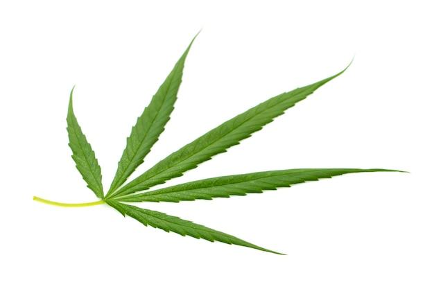 Świeże zielone liście konopi na białym tle.