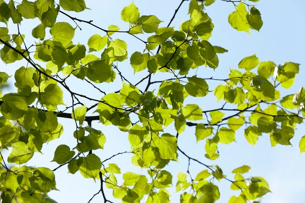 Świeże zielone liście lipy na tle błękitnego nieba, wiosna