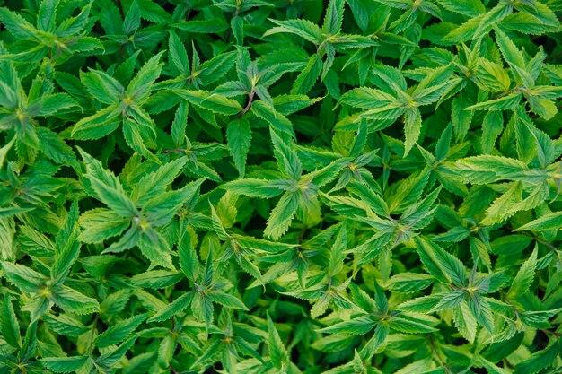 Świeże zielone liście mięty ziołowe liście mięty w tle