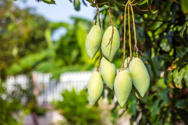 Świeże zielone owoce mango na drzewie w sadzie.