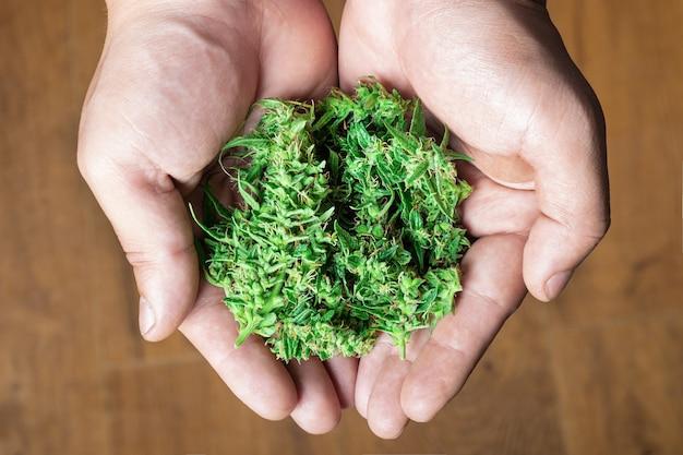 Świeże zielone pąki marihuany w dłoniach medyczna marihuana w męskiej dłoni